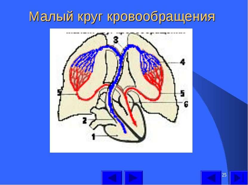 * Малый круг кровообращения