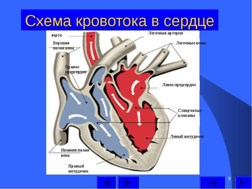 * Схема кровотока в сердце Левый желудочек Левое предсердие Легочные вены Лег...