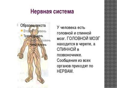 Нервная система У человека есть головной и спинной мозг. ГОЛОВНОЙ МОЗГ находи...