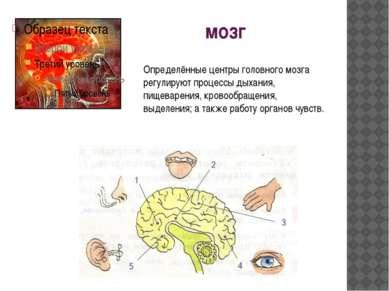мозг Определённые центры головного мозга регулируют процессы дыхания, пищевар...