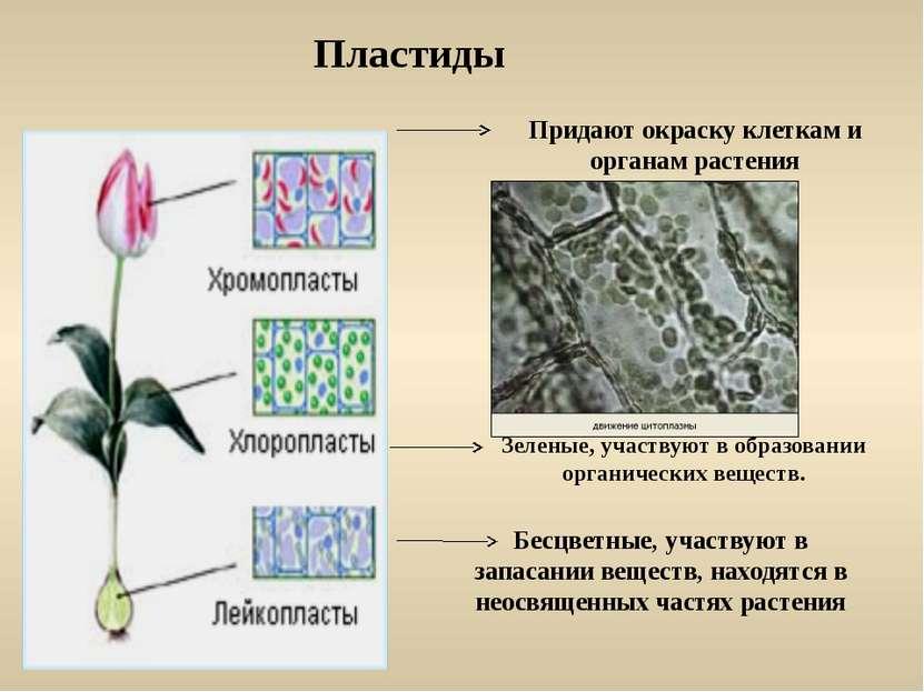 Пластиды Придают окраску клеткам и органам растения Бесцветные, участвуют в з...