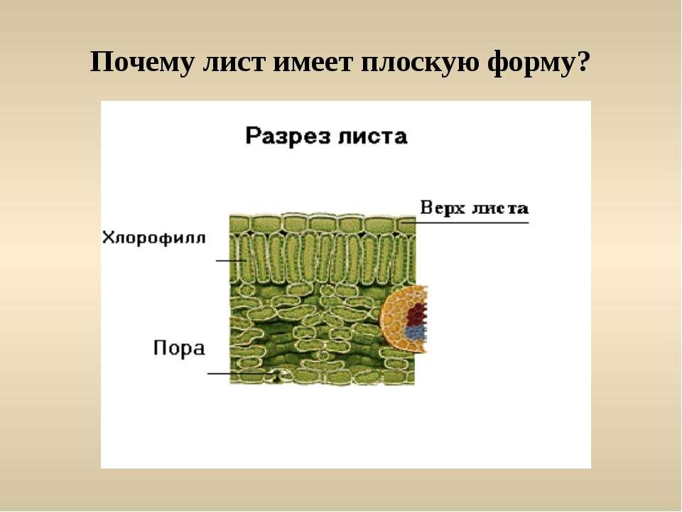 Почему лист имеет плоскую форму?