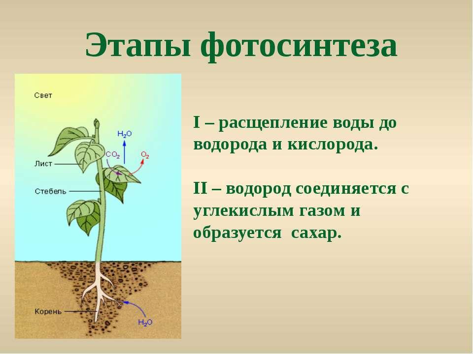 Этапы фотосинтеза Ι – расщепление воды до водорода и кислорода. II – водород ...