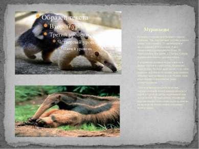 Размеры у муравьедов бывают самыми разными. Так, карликовый муравьед имеет дл...