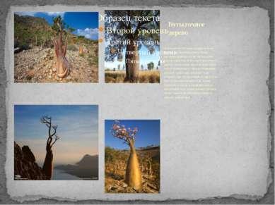 Дерево растёт в Южной Америке и очень любимо местным населением. Когда наступ...