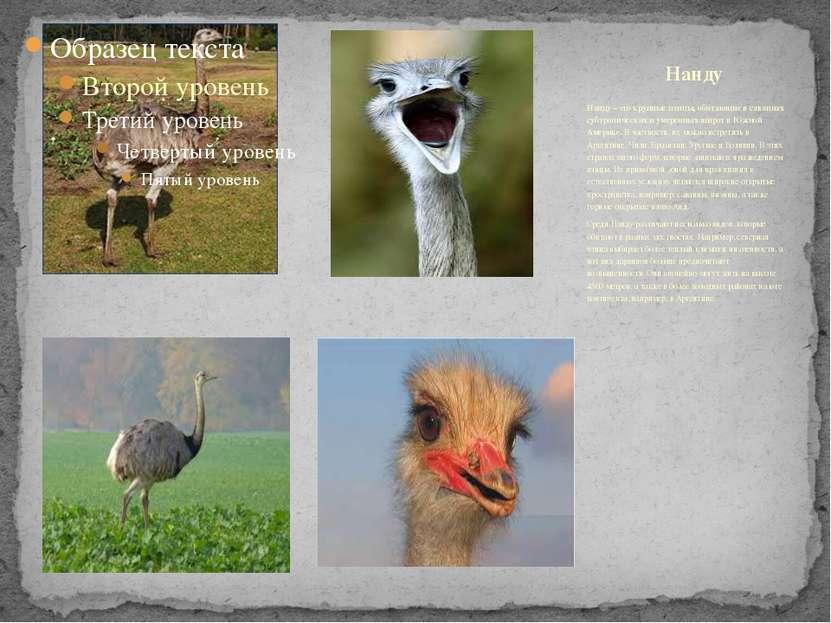 Нанду – это крупные птицы, обитающие в саваннах субтропических и умеренных ши...