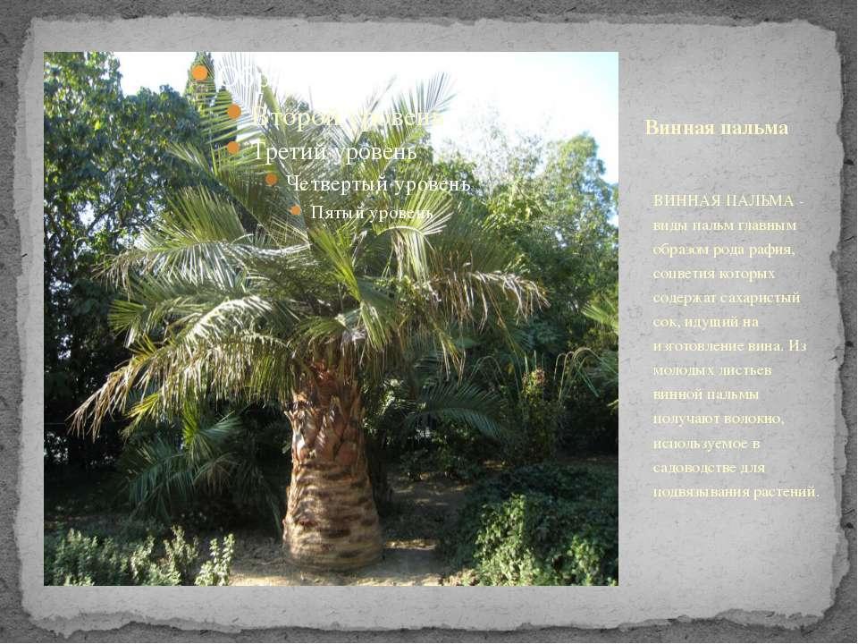 Винная пальма ВИННАЯ ПАЛЬМА - виды пальм главным образом рода рафия, соцветия...