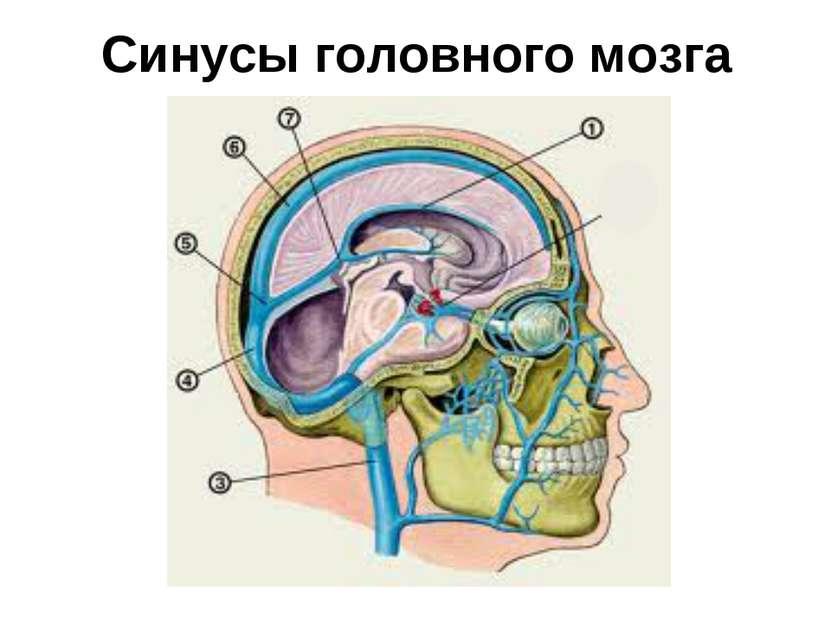 Синусы головного мозга