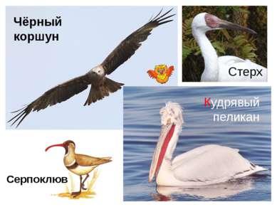 Чёрный коршун Кудрявый пеликан Серпоклюв Стерх