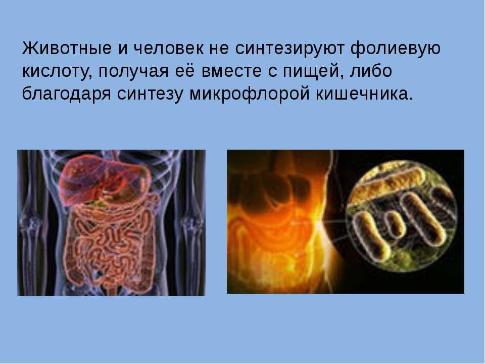 Животные и человек не синтезируют фолиевую кислоту, получая её вместе с пищей...