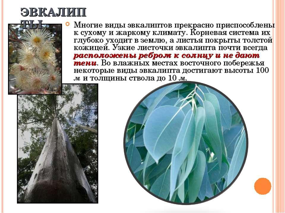 Многие виды эвкалиптов прекрасно приспособлены к сухому и жаркому климату. Ко...