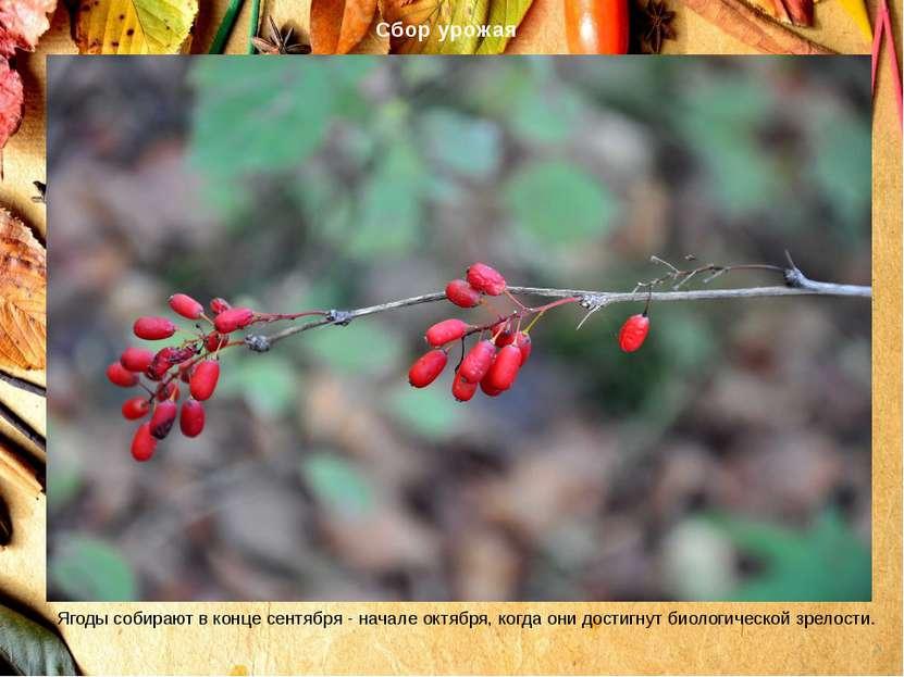 Сбор урожая Ягоды собирают в конце сентября - начале октября, когда они дости...