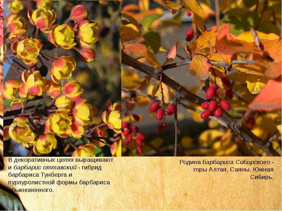 Родинабарбариса Сибирского- горы Алтая, Саяны, Южная Сибирь. В декоративных...