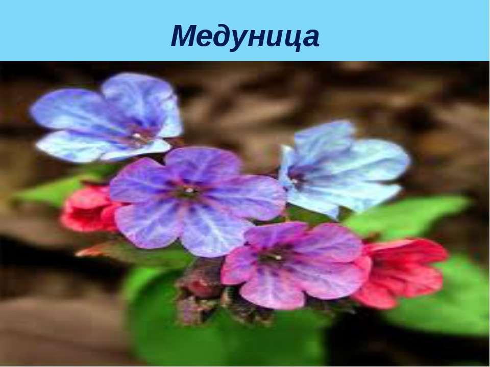 Медуница