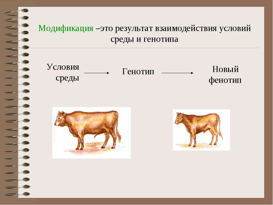 Модификация –это результат взаимодействия условий среды и генотипа Условия ср...