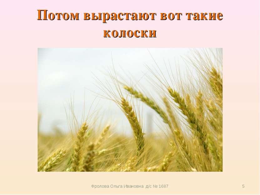 Потом вырастают вот такие колоски Фролова Ольга Ивановна д/с № 1687 * Фролова...