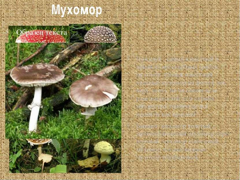 Мухомор Пожалуй , самый известный и яркий из несъедобных грибов – мухомор. Са...