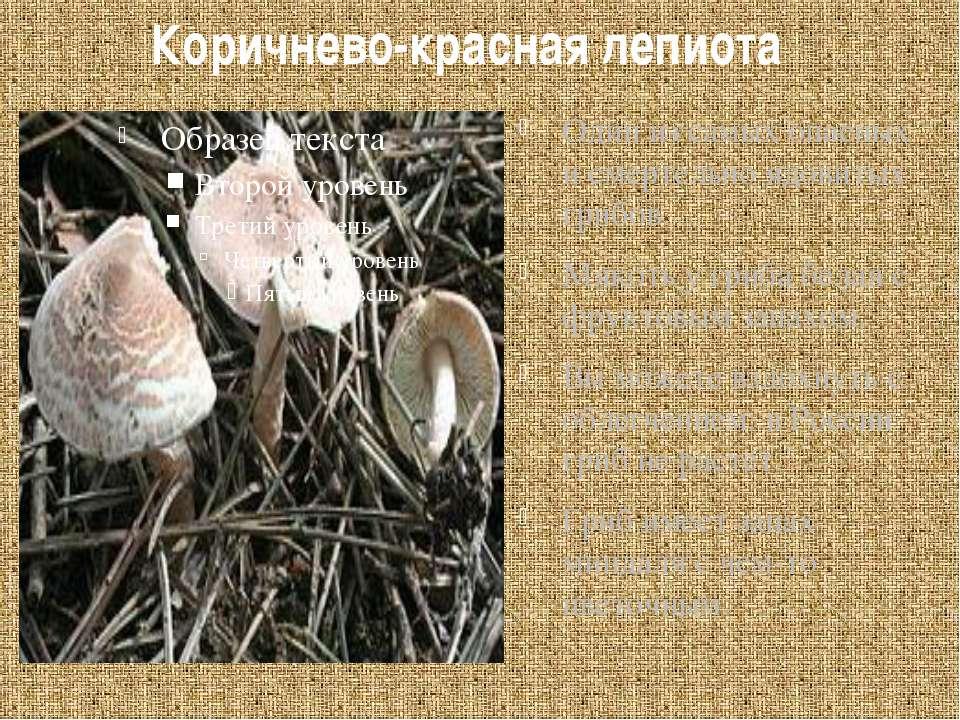 Коричнево-красная лепиота Один из самых опасных и смертельно ядовитых грибов....