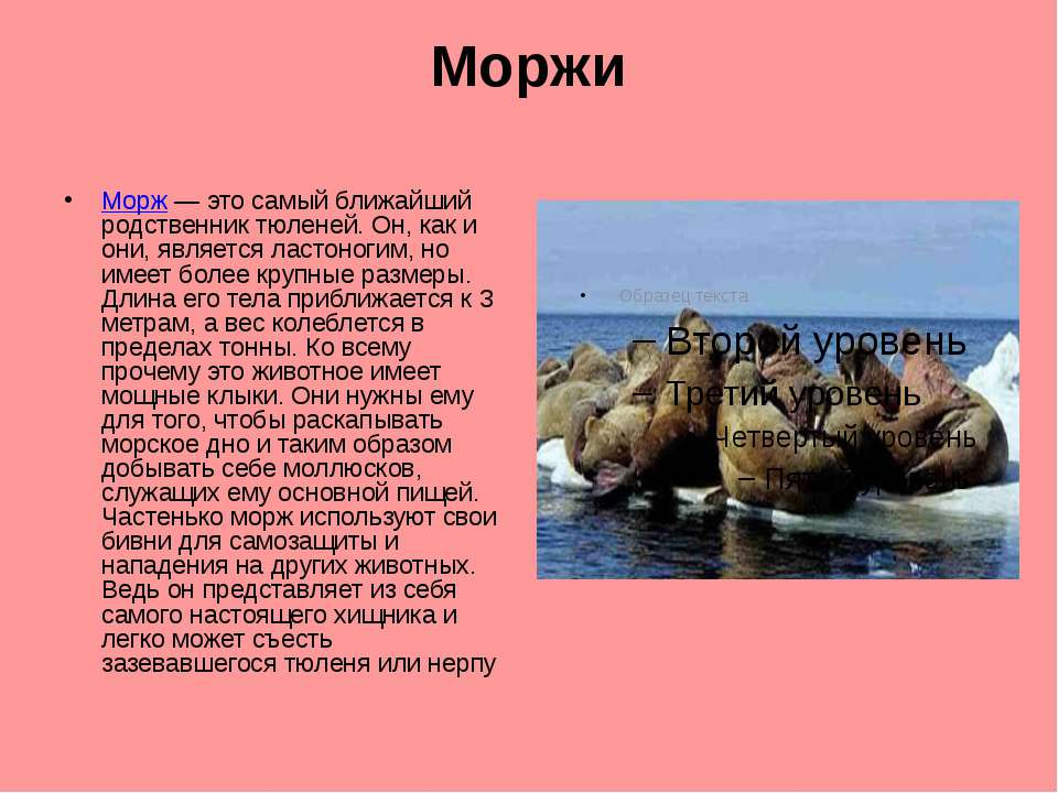Моржи Морж — это самый ближайший родственник тюленей. Он, как и они, является...