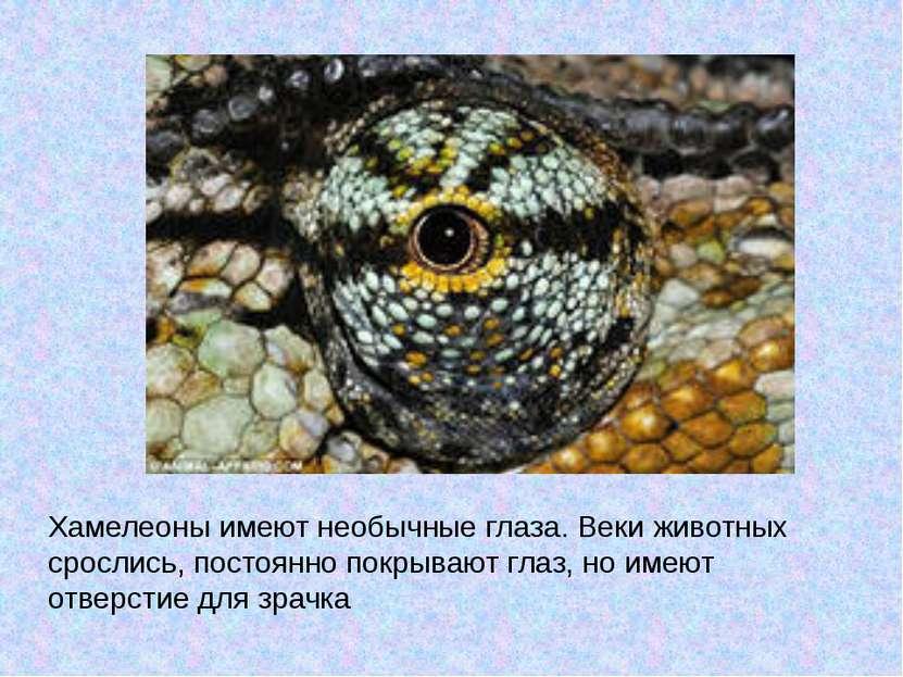 Хамелеоны имеют необычные глаза. Веки животных срослись, постоянно покрывают ...