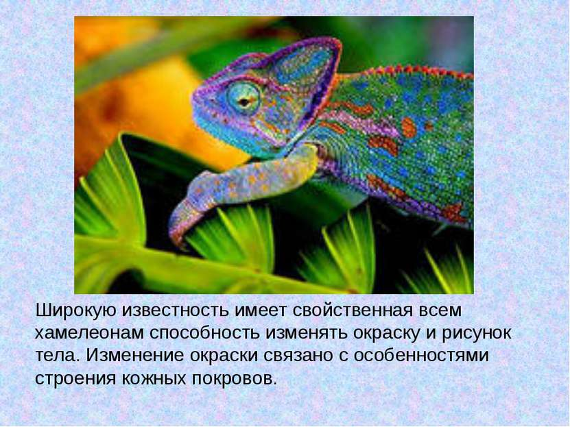 Широкую известность имеет свойственная всем хамелеонам способность изменять о...