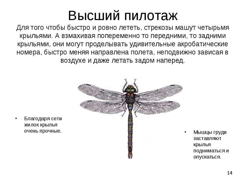 * Высший пилотаж Для того чтобы быстро и ровно лететь, стрекозы машут четырьм...