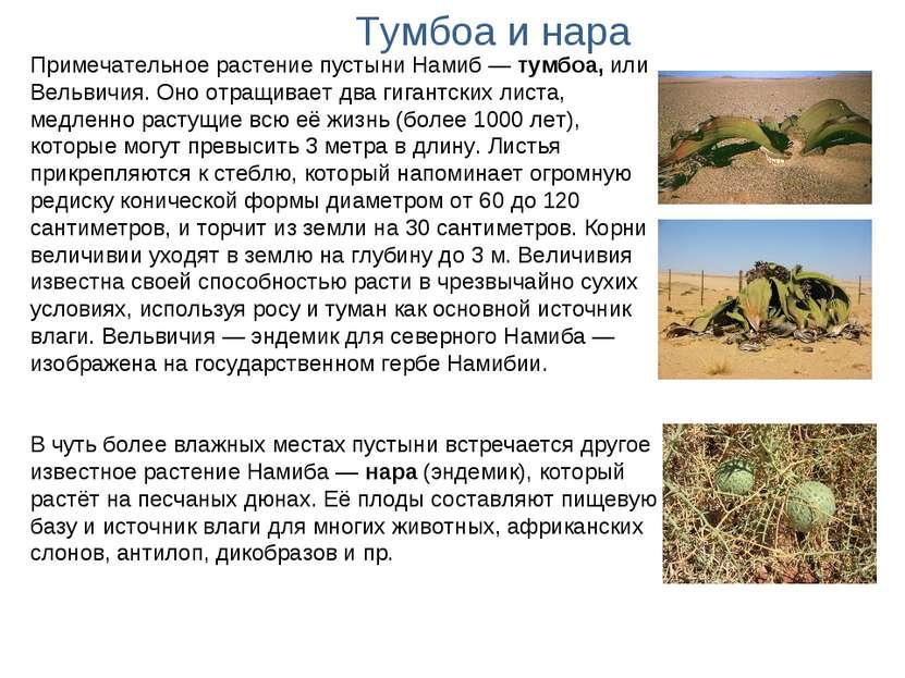Примечательное растение пустыни Намиб— тумбоа, или Вельвичия. Оно отращивает...