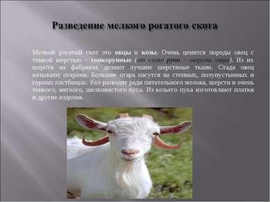 Мелкий рогатый скот это овцы и козы. Очень ценятся породы овец с тонкой шерст...