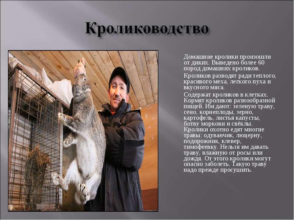 Домашние кролики произошли от диких. Выведено более 60 пород домашних кролико...