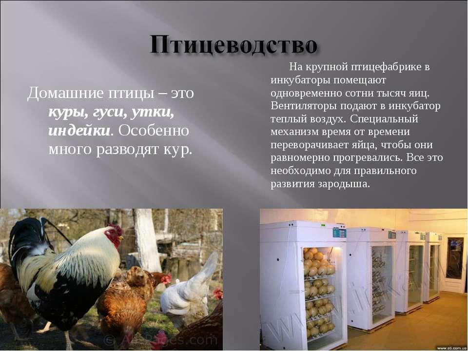 Домашние птицы – это куры, гуси, утки, индейки. Особенно много разводят кур. ...