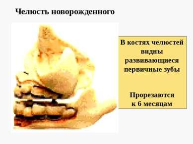 Челюсть новорожденного В костях челюстей видны развивающиеся первичные зубы П...