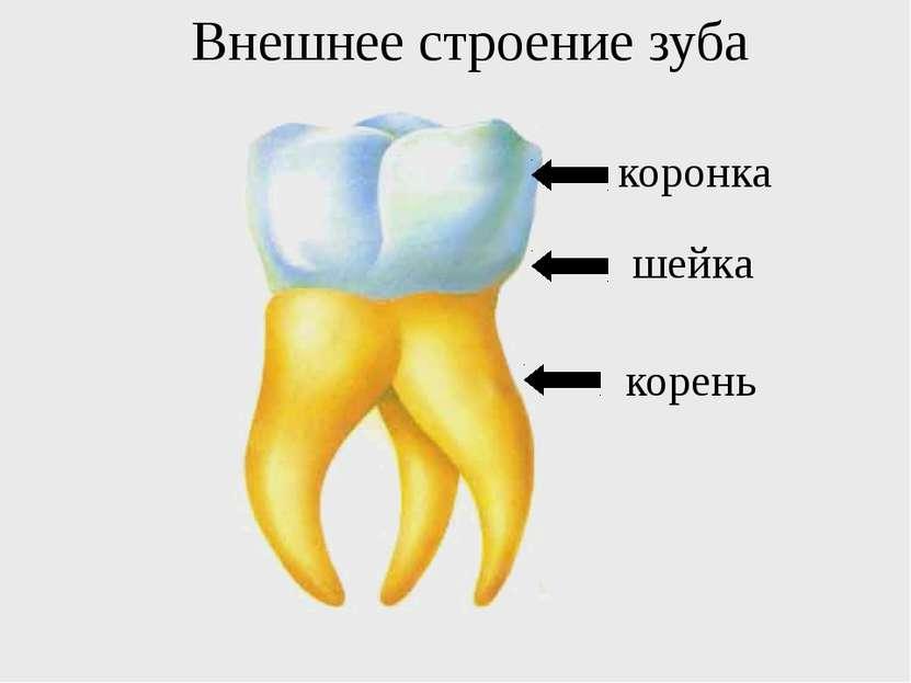 коронка шейка корень Внешнее строение зуба
