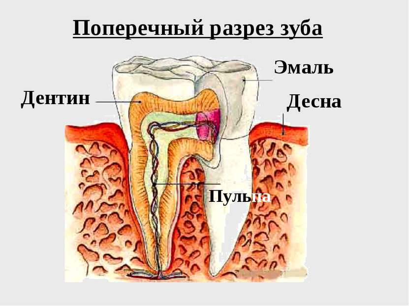 Поперечный разрез зуба Эмаль Десна Дентин Пульпа