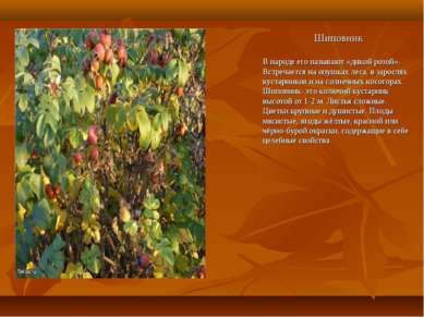Шиповник В народе его называют «дикой розой». Встречается на опушках леса, в ...