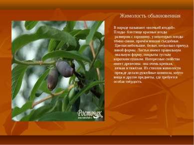 Жимолость обыкновенная В народе называют «волчьей ягодой». Плоды- блестяще кр...