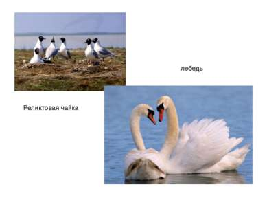 Реликтовая чайка лебедь