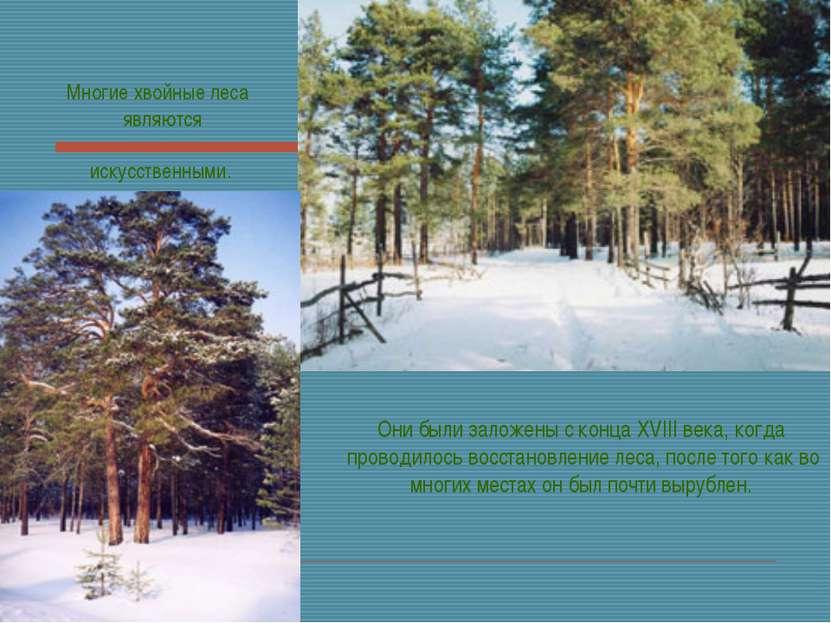 Многие хвойные леса являются искусственными. Они были заложены с конца XVIII ...