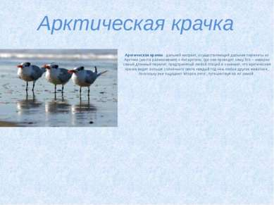 Арктическая крачка Арктическая крачка- дальний мигрант, осуществляющий дальн...