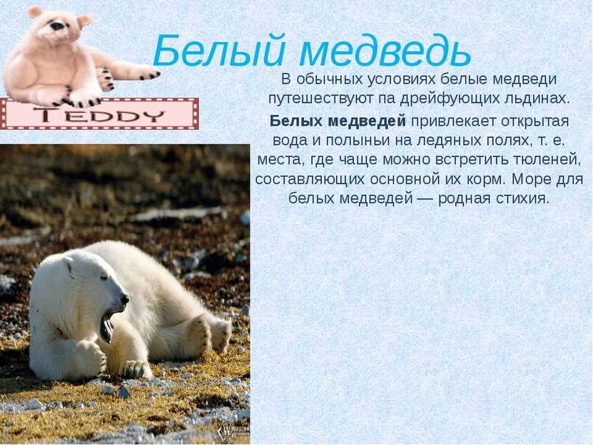 Белый медведь В обычных условиях белые медведи путешествуют па дрейфующих льд...