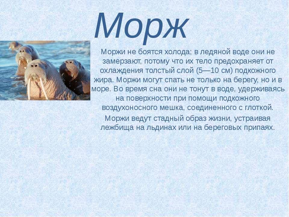 Морж Моржи не боятся холода; в ледяной воде они не замерзают, потому что их т...