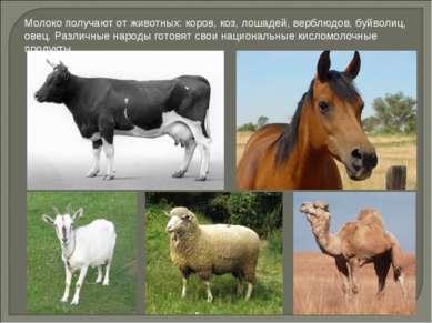 Молоко получают от животных: коров, коз, лошадей, верблюдов, буйволиц, овец. ...