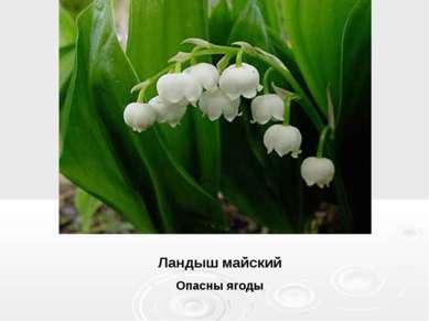 Ландыш майский Опасны ягоды