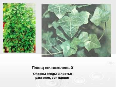 Плющ вечнозеленый Опасны ягоды и листья растения, сок ядовит