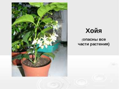 Хойя (опасны все части растения)