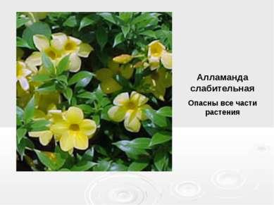 Алламанда слабительная Опасны все части растения