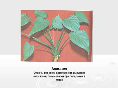 Алоказия Опасны все части растения, сок вызывает ожог кожи, очень опасен при ...