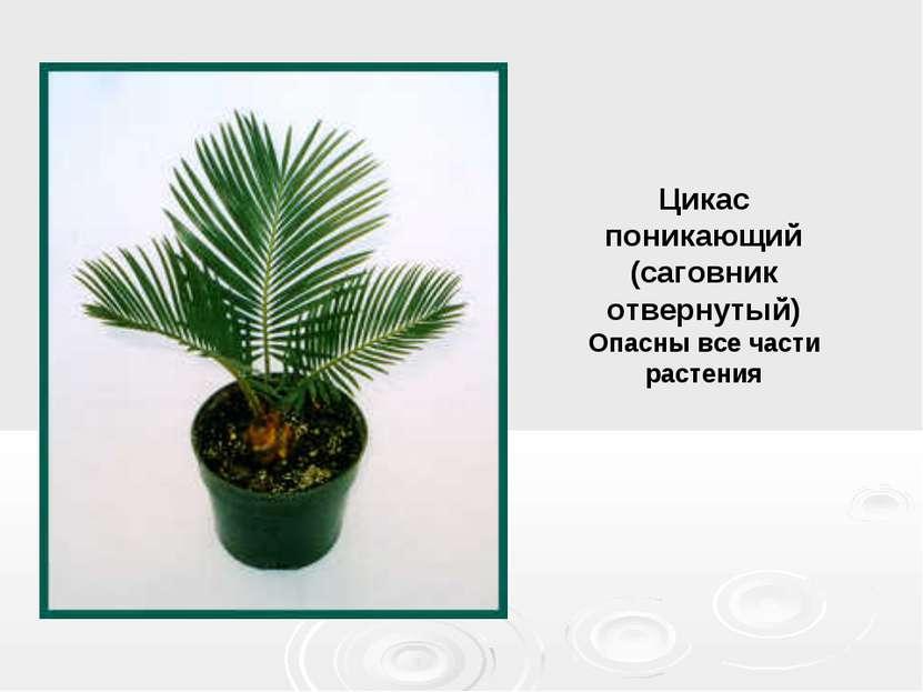 Цикас поникающий (саговник отвернутый) Опасны все части растения