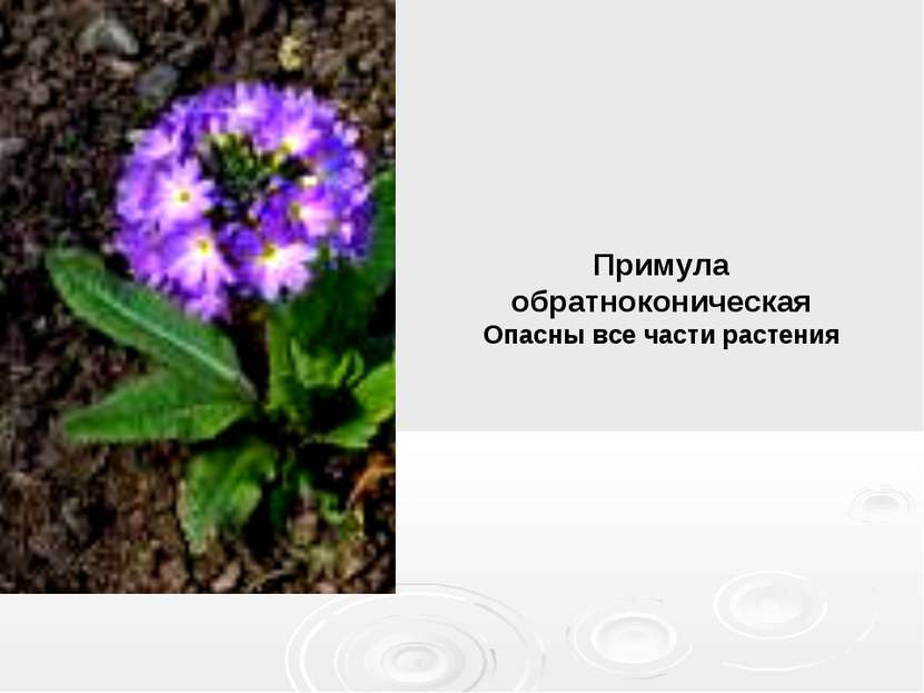 Примула обратноконическая Опасны все части растения