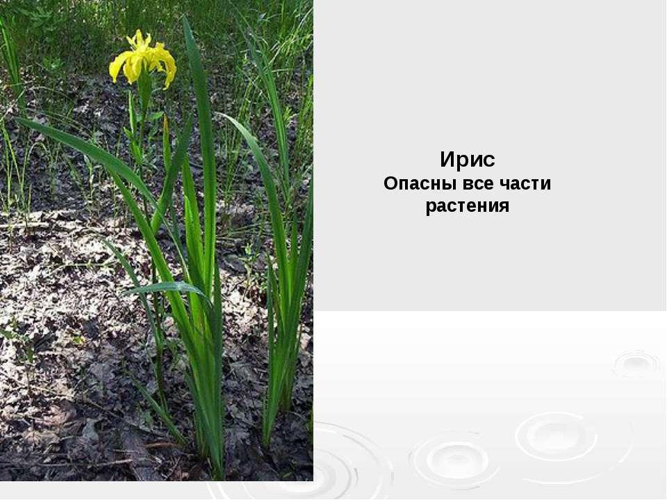 Ирис Опасны все части растения