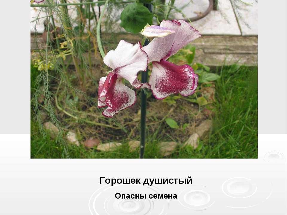 Горошек душистый Опасны семена